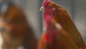 Λίγοι κόκκινοι κόκκορες στο πράσινο θολωμένο υπόβαθρο περπατούν απόθεμα βίντεο