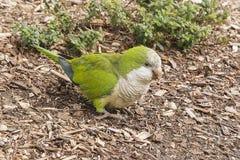 Λίγος άγριος πράσινος παπαγάλος στη Βαρκελώνη Στοκ εικόνες με δικαίωμα ελεύθερης χρήσης