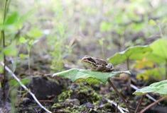 Λίγος δασικός βάτραχος κάθεται σε ένα φύλλο του coltsfoot Είναι πολύ prou Στοκ φωτογραφία με δικαίωμα ελεύθερης χρήσης