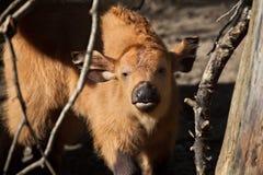 Λίγος αφρικανικός δασικός βούβαλος (nanus Syncerus caffer) Στοκ Φωτογραφία