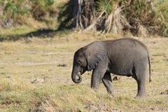 Λίγος αφρικανικός ελέφαντας Στοκ φωτογραφίες με δικαίωμα ελεύθερης χρήσης