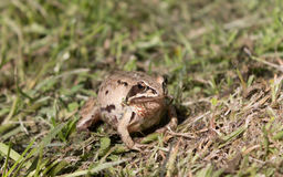 Λίγος βάτραχος πηγαίνει στο σπίτι του Στοκ φωτογραφία με δικαίωμα ελεύθερης χρήσης