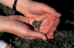 Λίγος βάτραχος στα χέρια Στοκ Φωτογραφία