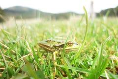 Λίγος βάτραχος στη χλόη - μακροεντολή Στοκ εικόνα με δικαίωμα ελεύθερης χρήσης