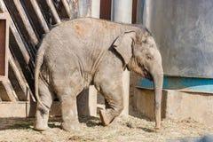 Λίγος ελέφαντας μωρών σε έναν περίπατο μια ηλιόλουστη θερινή ημέρα Στοκ φωτογραφία με δικαίωμα ελεύθερης χρήσης
