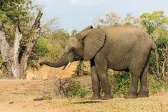 Λίγος ελέφαντας που ρουθουνίζει τον αέρα στοκ εικόνα με δικαίωμα ελεύθερης χρήσης