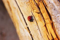 Λίγος κάνθαρος λαμπριτσών στο κούτσουρο ή το ξύλο πεύκων Στοκ φωτογραφία με δικαίωμα ελεύθερης χρήσης