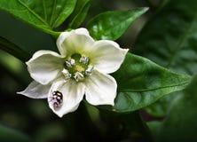 Λίγος κάνθαρος σε ένα λουλούδι Στοκ Εικόνες
