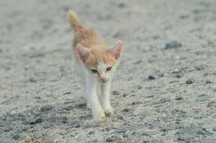 Λίγος κίτρινος περίπατος γατών στην άμμο Στοκ Φωτογραφίες