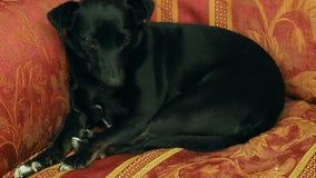Λίγος καναπές ύπνου σκυλιών απόθεμα βίντεο