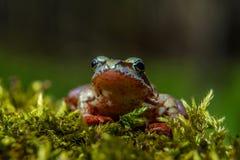 Λίγος καφετής βάτραχος Στοκ Φωτογραφίες