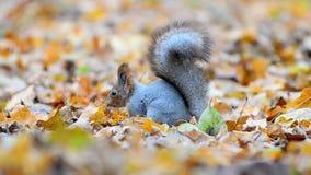Λίγος κόκκινος σκίουρος στα φύλλα φθινοπώρου απόθεμα βίντεο