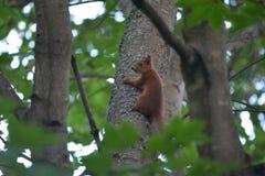 Λίγος κόκκινος σκίουρος Στοκ φωτογραφία με δικαίωμα ελεύθερης χρήσης