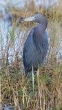 Λίγος μπλε ερωδιός - καταφύγιο άγριας πανίδας νησιών Merritt, Φλώριδα Στοκ εικόνα με δικαίωμα ελεύθερης χρήσης