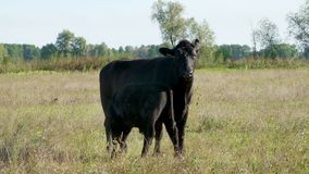 Λίγος μόσχος κοντά σε μια αγελάδα πίνει το γάλα, τρώει Βοσκή βοοειδών στον τομέα Παραγωγή κρέατος στο αγρόκτημα Θερινή θερμή ημέρ απόθεμα βίντεο