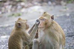 Λίγος πίθηκος βρίσκει τον κρότωνα για άλλο Στοκ Εικόνες