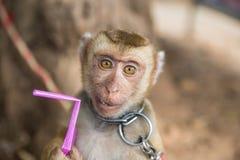 Λίγος πίθηκος με ένα άχυρο που πίνει στα χέρια τους Στοκ Φωτογραφία