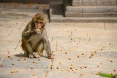 Λίγος πίθηκος του ναού των πιθήκων Στοκ φωτογραφία με δικαίωμα ελεύθερης χρήσης