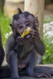 Λίγος πίθηκος τρώει την μπανάνα Στοκ Εικόνες
