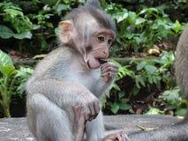 Λίγος πίθηκος τρώει Στοκ Εικόνα