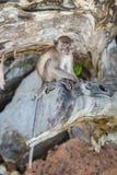 Λίγος πίθηκος Στοκ Εικόνες