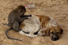 Λίγος πίθηκος delouse ένα σκυλί ύπνου στοκ εικόνες με δικαίωμα ελεύθερης χρήσης