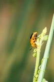 Λίγος πορτοκαλής κάνθαρος στο υπόβαθρο φύσης Στοκ Φωτογραφία