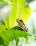 Λίγος πράσινος βάτραχος που περιβάλλεται από το πράσινο φύλλωμα Στοκ Φωτογραφία