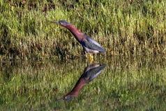 Λίγος πράσινος ερωδιός με την αντανάκλαση λιμνών στοκ φωτογραφίες με δικαίωμα ελεύθερης χρήσης