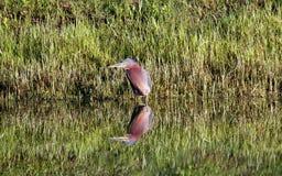 Λίγος πράσινος ερωδιός με την αντανάκλαση λιμνών στοκ εικόνα με δικαίωμα ελεύθερης χρήσης
