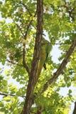 Λίγος πράσινος παπαγάλος μεταξύ των φύλλων Στοκ Φωτογραφία