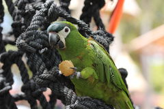Λίγος πράσινος παπαγάλος Στοκ Εικόνα