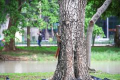 Λίγος σκίουρος αναρριχείται σε ένα δέντρο στοκ εικόνα με δικαίωμα ελεύθερης χρήσης