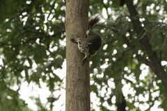 Λίγος σκίουρος που στέκεται στο δέντρο Στοκ Εικόνα