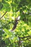 Λίγος σκίουρος στον κλάδο Στοκ Φωτογραφίες