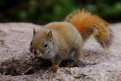 Λίγος σκίουρος στο βράχο Στοκ Εικόνες