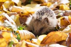 Λίγος σκαντζόχοιρος στα πεσμένα φύλλα που ψάχνουν τα τρόφιμα Στοκ Φωτογραφίες