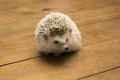 Λίγος σκαντζόχοιρος στο ξύλινο πάτωμα Στοκ φωτογραφία με δικαίωμα ελεύθερης χρήσης