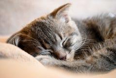 Λίγος σκωτσέζικος ύπνος γατακιών πτυχών στο κρεβάτι στοκ φωτογραφία