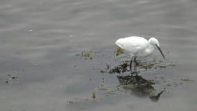 Λίγος τσικνιάς που στα ρηχά νερά - ουαλλέζικη ακτή φιλμ μικρού μήκους