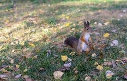 Λίγος χνουδωτός σκίουρος στέκεται στα οπίσθια πόδια του στοκ φωτογραφία με δικαίωμα ελεύθερης χρήσης