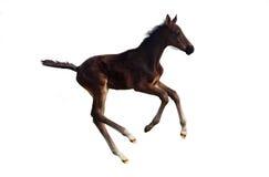 Λίγος foal καλπασμός Στοκ Εικόνες