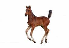 Λίγος foal κόλπων καλπασμός Στοκ Εικόνα