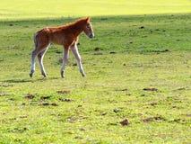 Λίγο άλογο ή πουλάρι που περπατά το λιβάδι Στοκ φωτογραφία με δικαίωμα ελεύθερης χρήσης