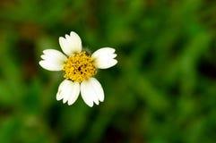 Λίγο άσπρο και κίτρινο λουλούδι Στοκ εικόνες με δικαίωμα ελεύθερης χρήσης