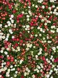Λίγο άσπρο και κόκκινο υπόβαθρο λουλουδιών στοκ φωτογραφία με δικαίωμα ελεύθερης χρήσης
