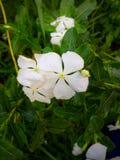 Λίγο άσπρο λουλούδι και φύλλα πίσω στοκ εικόνες