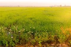 Λίγο άσπρο λουλούδι στον τομέα ρυζιού Στοκ Φωτογραφίες
