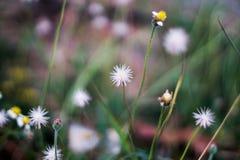 Λίγο άσπρο λουλούδι Coatbuttons με το υπόβαθρο θαμπάδων Στοκ φωτογραφία με δικαίωμα ελεύθερης χρήσης
