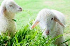 Λίγο άσπρο πρόβατο Στοκ φωτογραφία με δικαίωμα ελεύθερης χρήσης